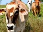 Gado na região do Pantanal poderá ser vacinado até amanhã (30).